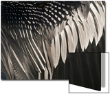 Anhinga (Anhinga anhinga) adult male  close-up of wing feathers  Anhinga Trail  Everglades