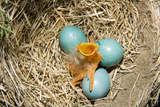 American Robin (Turdus migratorius) newly hatched chick and hatching eggs in nest  USA