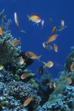 Redfin Anthias (Pseudanthias dispar) Eastern Bay  Batu Montjo  Komodo Island  Indonesia