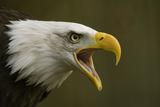Bald Eagle (Haliaeetus leucocephalus) adult  calling  close-up of head  captive