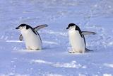 Chinstrap Penguin (Pygoscelis antarctica) two adults  walking on snow  Antarctic Peninsula