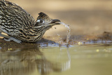 Greater Roadrunner (Geococcyx californianus) adult  drinking from pool  South Texas  USA