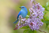 Mountain Bluebird (Sialia currucoides) adult male  perched on flowering lilac  USA