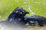 Great-tailed Grackle (Quiscalus mexicanus) adult male  bathing  Texas  USA