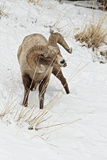 Bighorn Sheep (Ovis canadensis) adult male  feeding in snow  Yellowstone   Wyoming