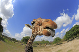 Reticulated Giraffe (Giraffa camelopardalis reticulata) adult  with tongue sticking out (Miami Zoo)