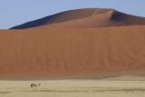 Springbok (Antidorcas marsupialis) adult  standing in desert habitat with sand dunes  Namib Desert