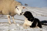 Domestic Dog  Border Collie sheepdog  adult  nose to nose with Texel ram in snow