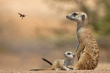 Meerkat (Suricata suricatta) adult 'baby-sitter' with young  South Africa