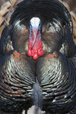 Wild Turkey (Meleagris gallopavo) adult male  displaying  Nebraska  USA
