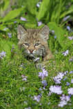 Bobcat (Lynx rufus) eight-weeks old cub  sitting amongst wildflowers in meadow  Montana  USA