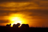 Black Wildebeest (Connochaetes gnou) adults  silhouetted on highveld at sunrise  Pretoria