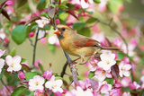 Northern Cardinal (Cardinalis cardinalis) adult female perched on branch amongst wild plum blossom