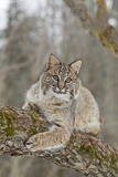 Bobcat (Lynx rufus) adult  resting on tree branch  Minnesota  USA
