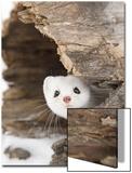Stoat (Mustela erminea) adult  in 'ermine' white winter coat  Minnesota