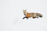 American Red Fox (Vulpes vulpes fulva) adult  walking on snow  Yellowstone   Wyoming
