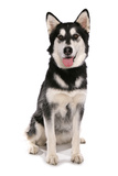 Domestic Dog  Siberian Husky x German Shepherd  puppy  sitting