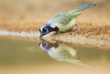 Green Jay (Cyanocorax yncas) adult  drinking at desert pool  South Texas  USA