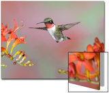 Ruby-throated Hummingbird (Archilochus colubris) adult male  in flight