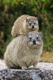 Cape Rock Hyrax (Procavia capensis) adult female with young  resting on back  Western Cape
