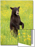 American Black Bear (Ursus americanus) cub  standing on hind legs in meadow  Minnesota  USA