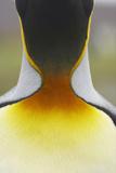 King Penguin (Aptenodytes patagonicus) adult  close-up of neck  Salisbury Plain  South Georgia
