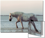 Camargue Horse  adult  walking in water at sunset  Saintes Marie de la Mer