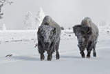 North American Bison (Bison bison) two adult males  walking on snow covered road  Wyoming