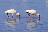 American White Ibis (Eudocimus albus) two adults  foraging in shallow water  Florida