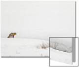 American Red Fox (Vulpes vulpes fulva) adult  standing on snow covered habitat  Wyoming