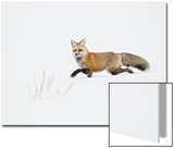 American Red Fox (Vulpes vulpes fulva) adult  walking on snow  Yellowstone   Wyoming