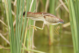 Least Bittern (Ixobrychus exilis) adult female  jumping between reedmace  Mustang Island