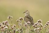 Pectoral Sandpiper (Calidris melanotos) adult  breeding plumage  near Barrow