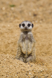 Meerkat (Suricata suricatta) baby  sitting on sand  with sandy paws from digging (captive)