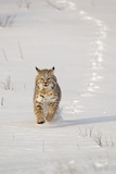 Bobcat (Lynx rufus) adult  running in snow  Montana  USA