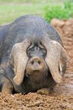 Domestic Pig  Large Black  free-range sow  close-up of head