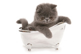 Domestic Cat  Exotic Shorthair  blue kitten  sitting in toy bath