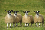 Domestic Sheep  crossbred mule ewe lambs  four standing in pasture  ready for sale