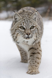 Bobcat (Lynx rufus) adult  walking on snow  Montana  USA