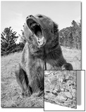 Grizzly Bear (Ursus arctos horribilis) adult  sitting with open mouth  Montana  USA