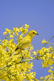 Yellow Warbler (Dendroica petechia) adult male  perched in flowering palo verde  USA