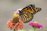 Monarch Butterfly (Danaus plexippus) adult  feeding on zinnia flower in garden  North Dakota  USA