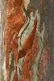 Rainbow Eucalyptus (Eucalyptus deglupta) close-up of bark  Northern Territory