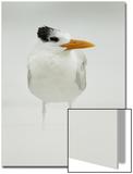 Royal Tern (Sterna maxima) adult  winter plumage  standing in windblown sand on beach  Florida