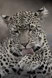 Leopard (Panthera pardus) Female grooming - Licking paw - Masai Mara  Kenya