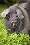 Domestic Pig  British Saddleback  freerange sow  close-up of head