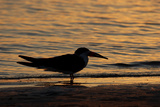 Black Skimmer (Rynchops nigra) adult silhouette  on beach at sunset  Florida  USA