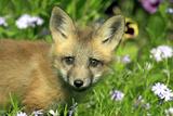 American Red Fox (Vulpes vulpes fulva) ten-weeks old cub  close-up of head  Montana