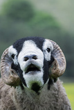 Domestic Sheep  Swaledale ram  close-up of head  with mouth open and trimmed horns