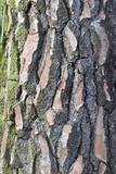 Maritime Pine (Pinus pinaster) close-up of bark  in garden  Cambridgeshire  England